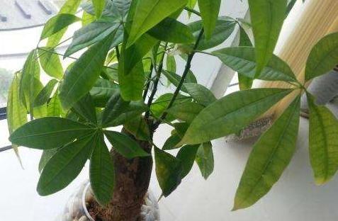 养发财树,黄叶、烂根、病虫害怎么办?多注意3点能从源头遏止