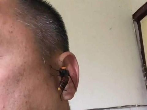 警察耳朵遭虎头蜂咬下一块肉,专家曝原因:蜂妈妈带回去喂幼虫