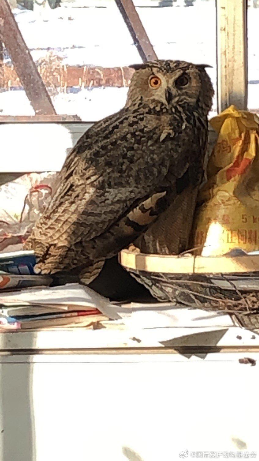 新来的雕鸮,据村民说是被狗从山上撵下来的…………