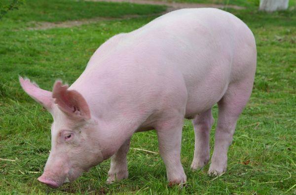 118岁高僧说了:71年生肖猪12月中要大难临头,能躲过后福无穷!