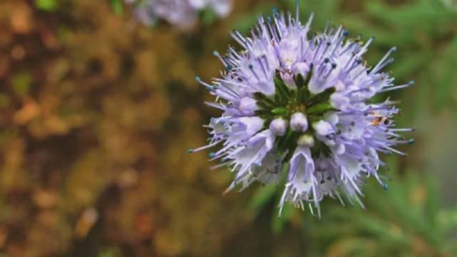 """潮州山涧发现植物新种,被正式命名""""潮州莸"""""""