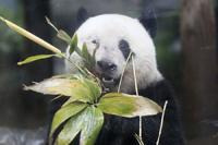 """中方:受疫情影响,日本上野动物园大熊猫""""香香""""可能难以按原计划回中国"""