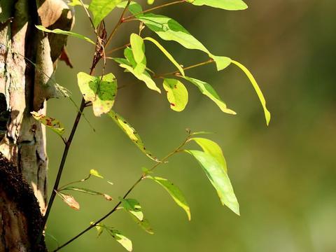 桉树被称亡国树、断子绝孙树、缺德树,为何人类还要种植?