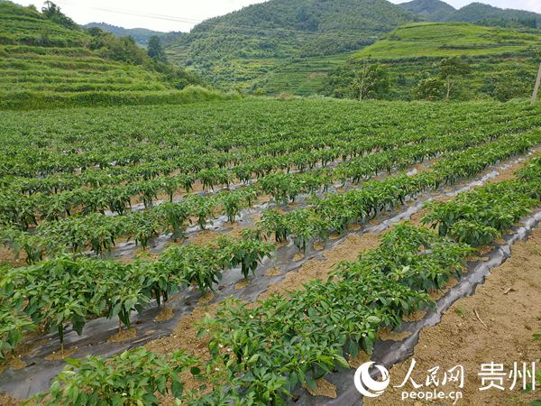 瓮安县永和镇:产业发展有看头 农民收入有赚头