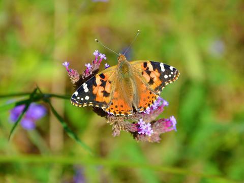 银边蛱蝶,原创拍摄