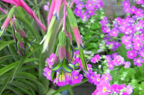 它是凤梨科中最好看的花,颜值高花量丰富,名叫垂花水塔花