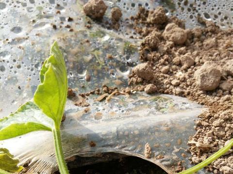 嫁接栽培可根治西瓜蔓枯病,嫁接定植技术是关键