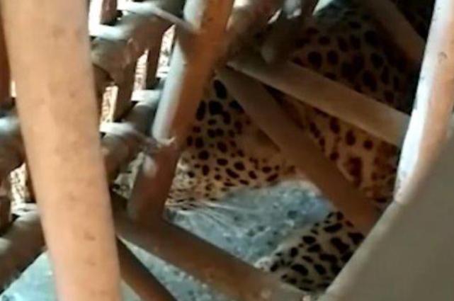 吓破胆!印度女住旅馆,坐沙发感觉异样伸手摸,底下竟藏了只豹子