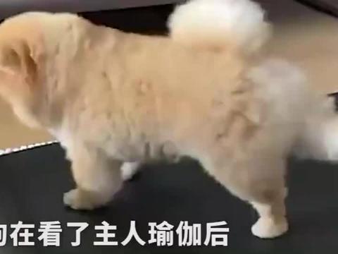 狗狗看完主人练瑜伽后跑到瑜伽垫上,这动作挺标准的
