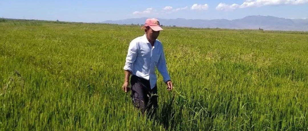 脱贫那些事儿丨从盐碱地到水稻田,喀克村做到了!