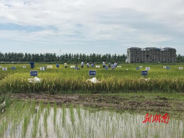 湖南破解种子难题:以杂交水稻等为支撑,依托隆平高科等企业