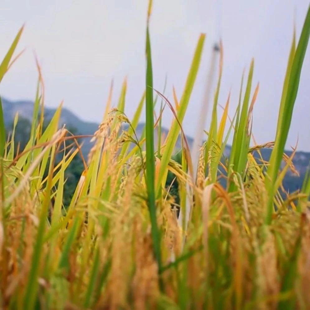 短期籼稻上涨无望!