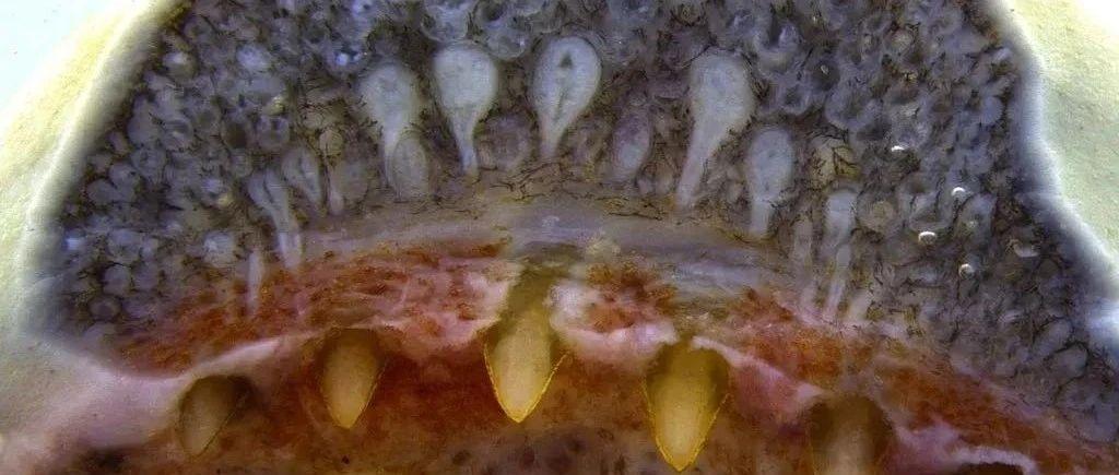一种看似像蛇的动物,能自由选择生殖方式,幼虫靠吃母体身体生长