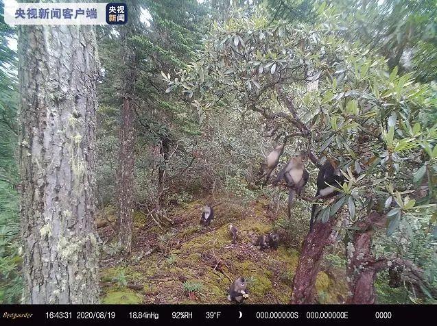 【关注】惊喜!多种国家重点保护动物现身白马雪山保护区图片