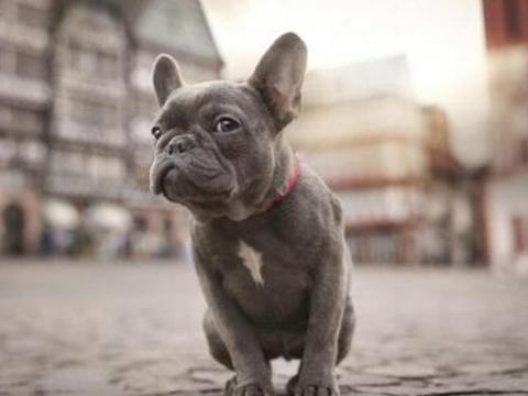 """养法国斗牛犬,选""""公犬""""的五大原因,不会让你失望"""