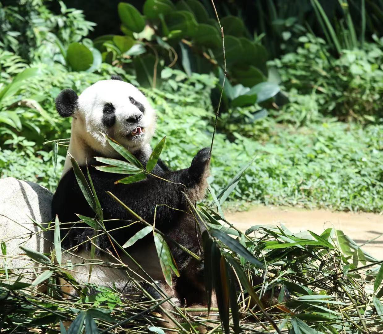"""大熊猫""""谊谊""""因疫情滞留马来西亚 原定4月被送回中国"""