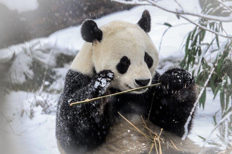 """""""林海雪原""""版动物王国!熊猫老虎雪地撒欢,热带动物用上地暖"""