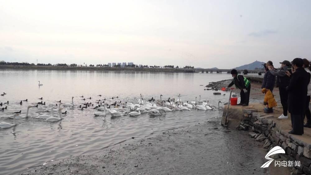 """78秒丨来一场邂逅天鹅之旅!威海荣成樱花湖迎来200多只""""凌波仙子"""""""