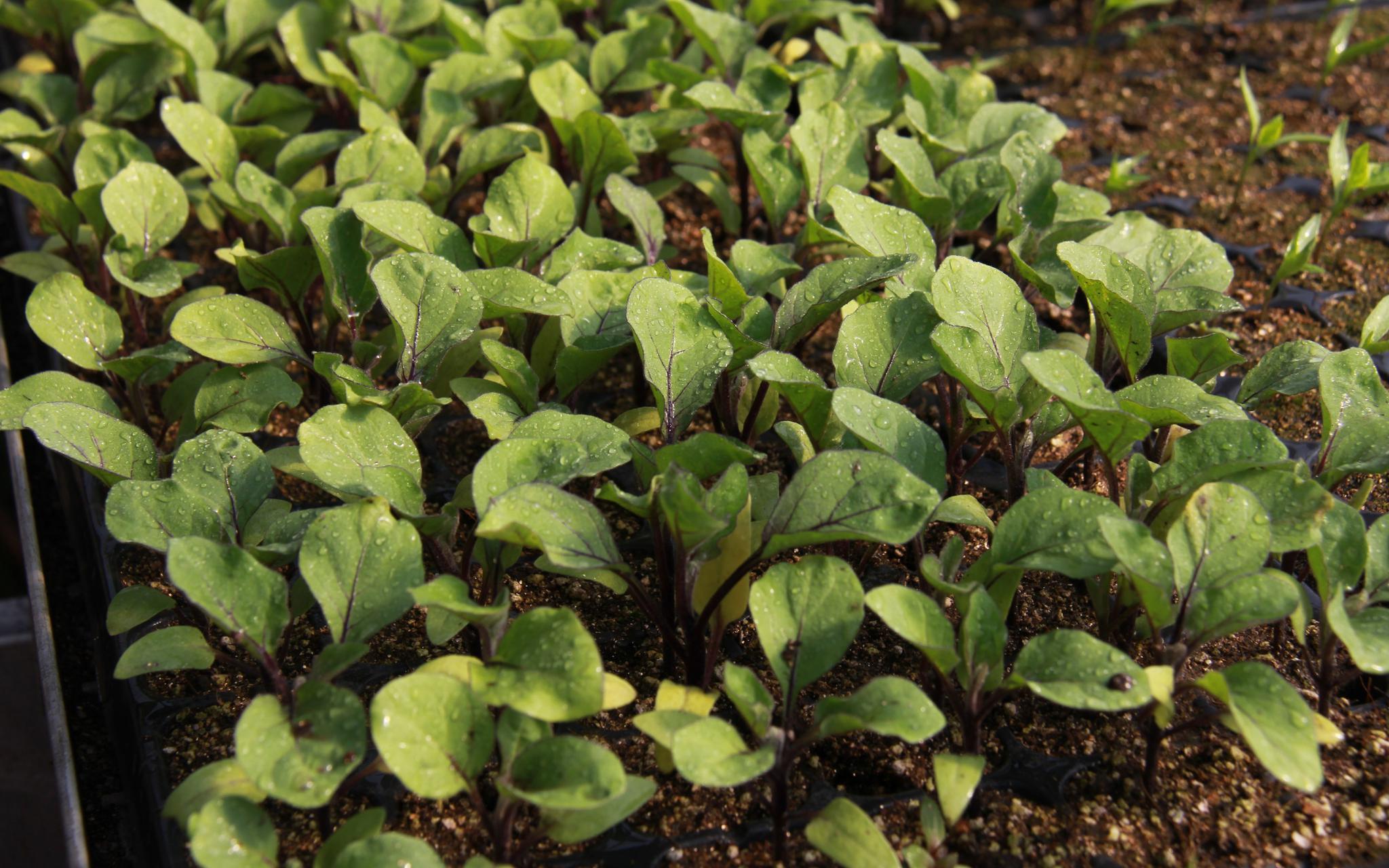 平谷马昌营恢复8种京味儿蔬菜种植图片