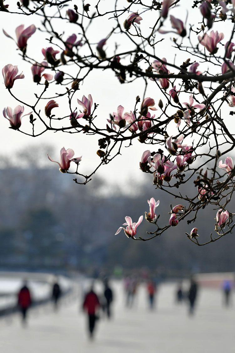北京街头春花吐蕊春意渐浓|组图图片