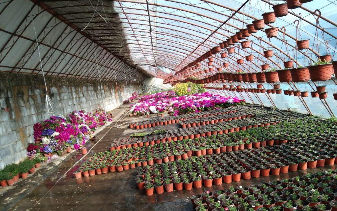 宋庄镇花农两天卖出3000盆滞销盆栽花图片
