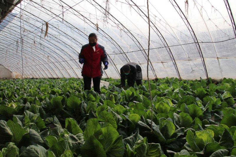 北京市农业技术专家提醒种植户做好蔬菜春季管理图片