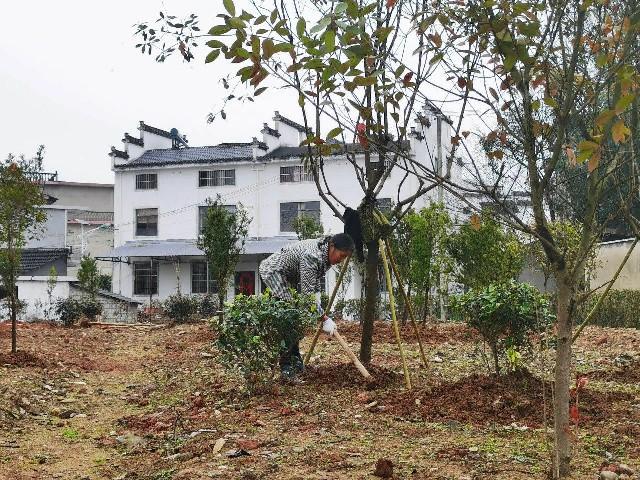 屯溪区:造林绿化不误时
