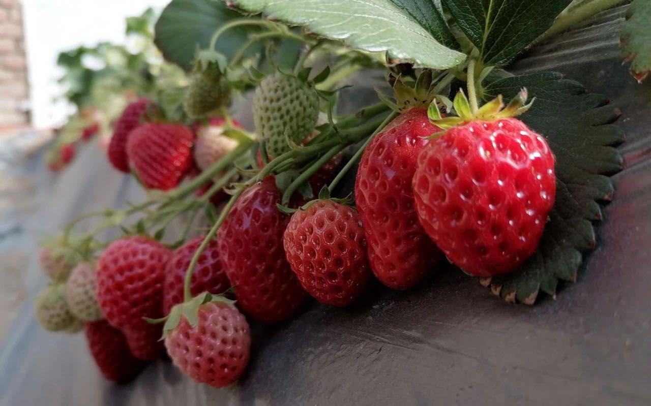 村里草莓滞销 村书记发帖求助图片