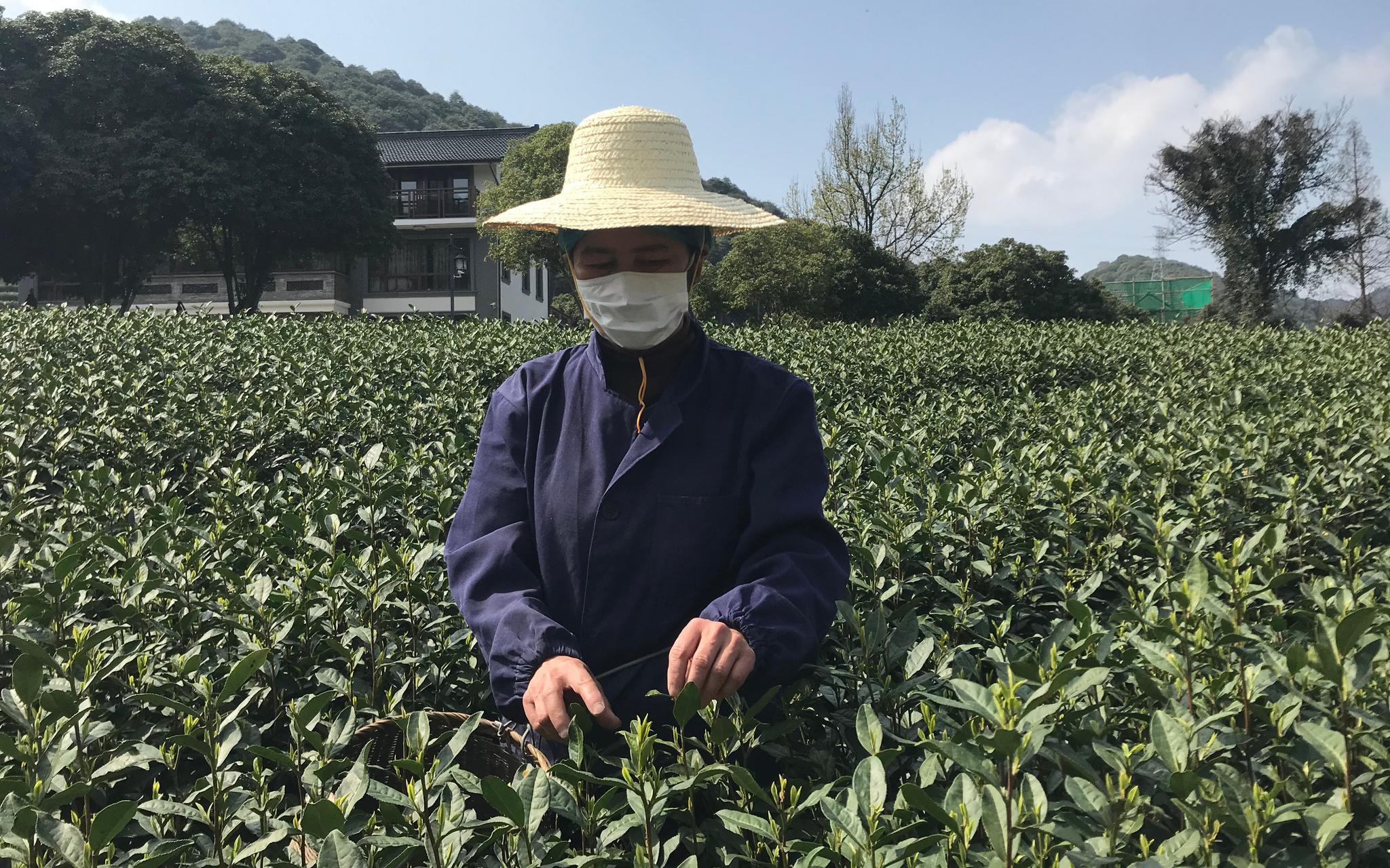 西湖龙井茶进入大规模开采,今年价格将略有上升图片