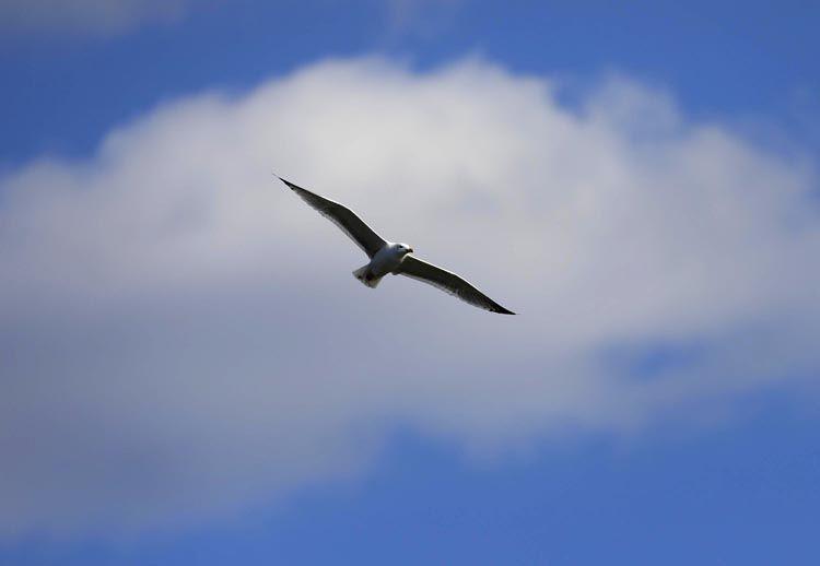 赏春|永定河银鸥翱翔图片
