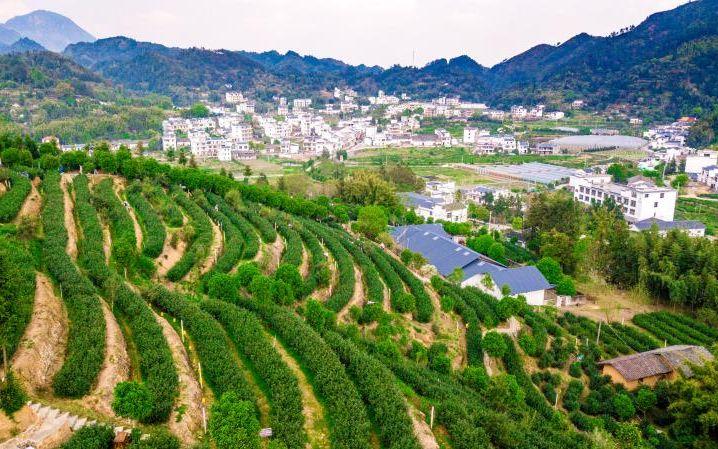 靠茶叶脱贫 每亩25800元的订制茶园了解一下?图片
