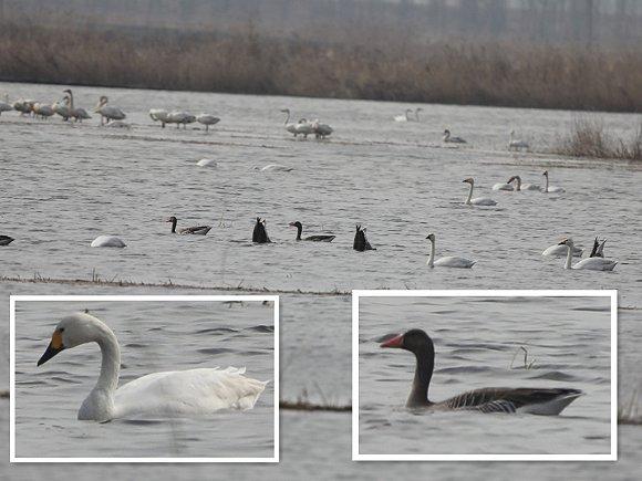 天津宝坻区潮白河国家湿地公园及周边稻田现大量迁徙鸟类