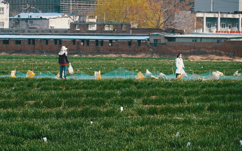 农科院试验田小麦返青 在都市里也能看麦苗青青图片