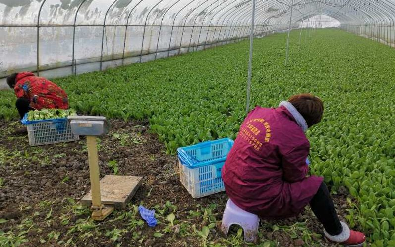 安徽桥头集镇春耕忙 有机蔬菜日产100吨供应合肥市场图片