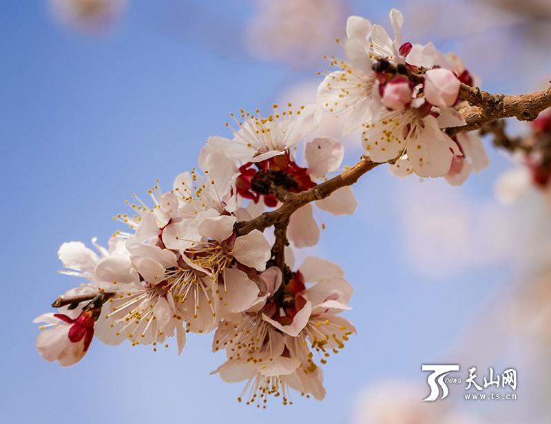 杏花朵朵开 皮山春意浓