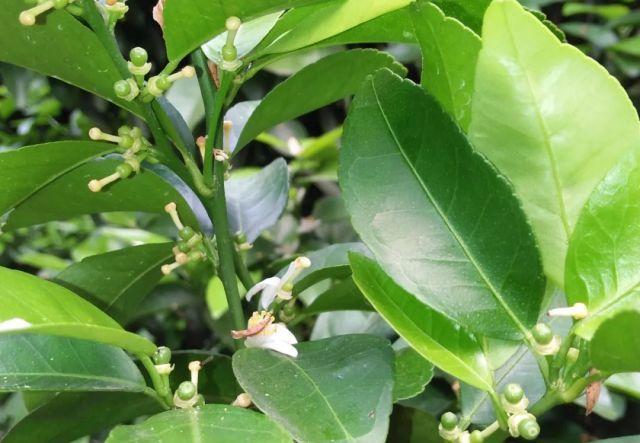 柑橘保果,需要哪些调节剂和叶面肥?1个方案供农友参考