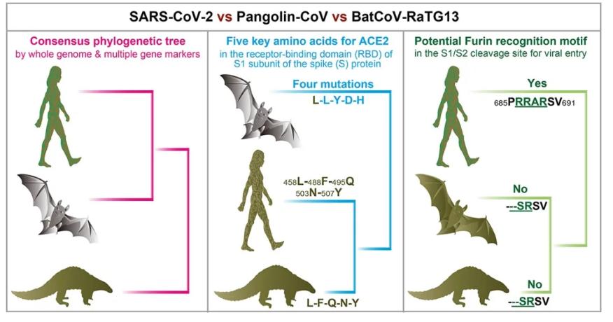 穿山甲不是新冠病毒中间宿主 或是可能的潜在自然宿主图片