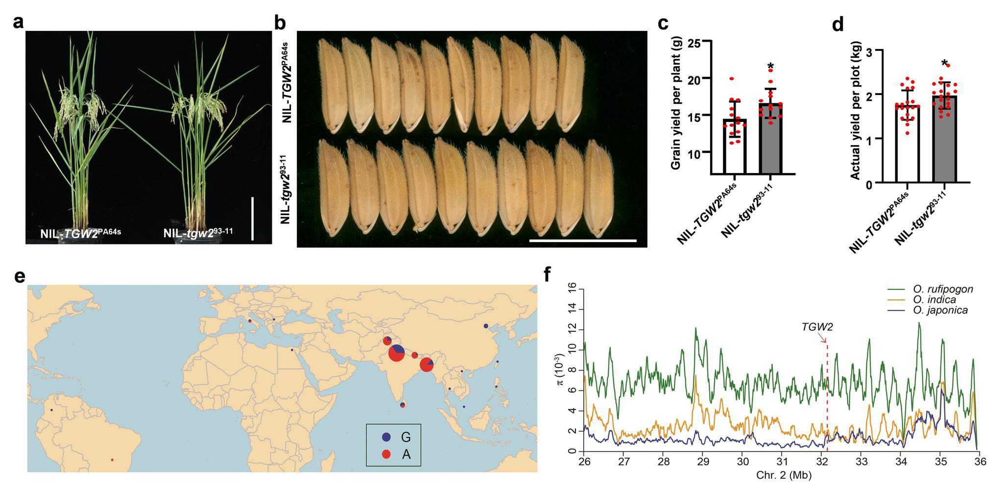 超级稻是如何增产的 科学家揭示分子机理