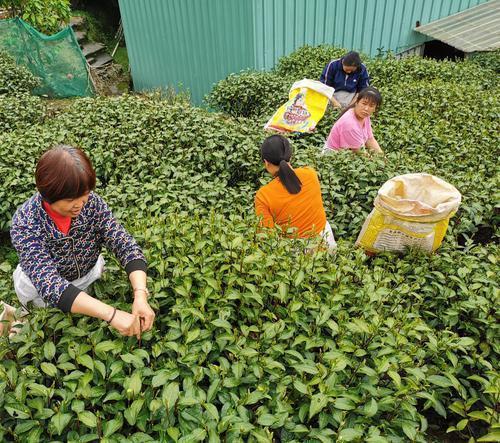 韶关仁化:1200多年历史的白毛茶进入采摘期