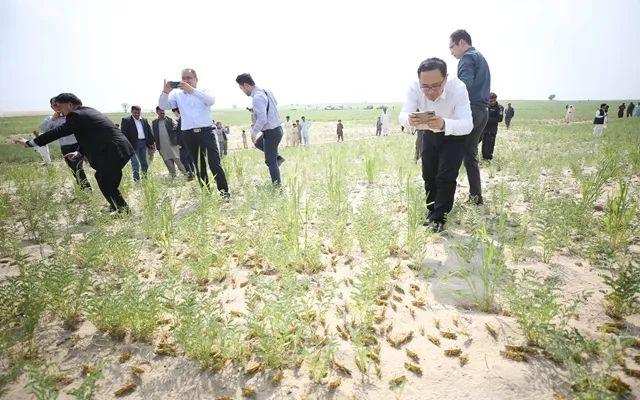 巴基斯坦蝗灾产出下一代!沙漠蝗入侵我国几率有多大?