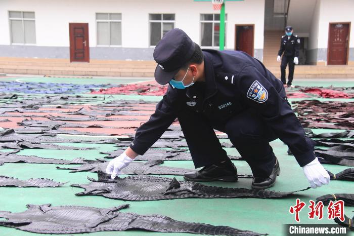 图为民警将鳄鱼皮集中摆放。 游辉 摄