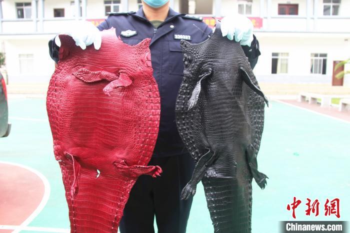 图为查获的被初步加工染色的鳄鱼皮。 游辉 摄