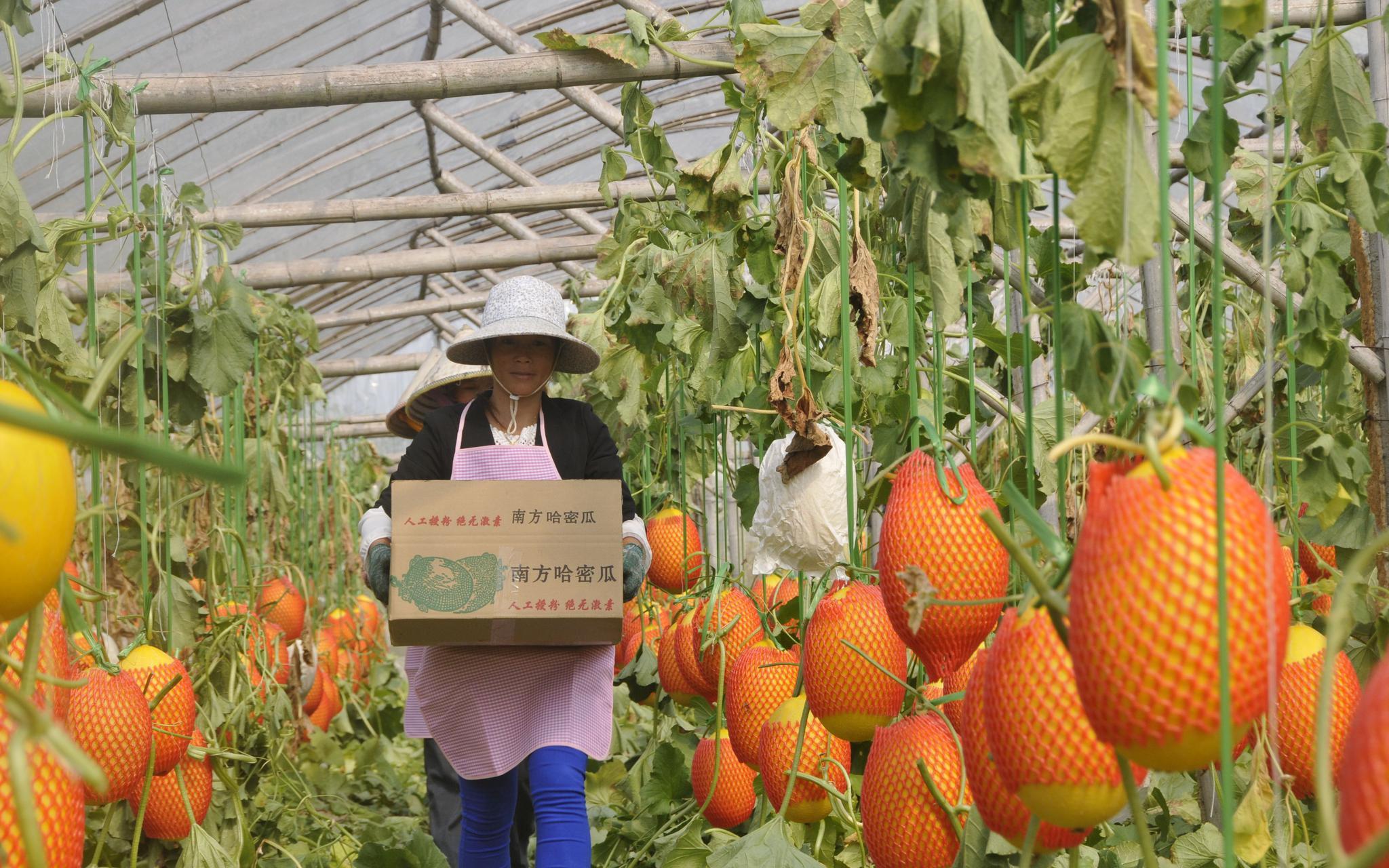 广西北海市:农户按标准建大棚 每亩奖励1万元图片