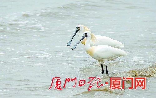 """鸟中""""大熊猫""""来觅食 厦门迎上百种迁徙过境的冬候鸟"""