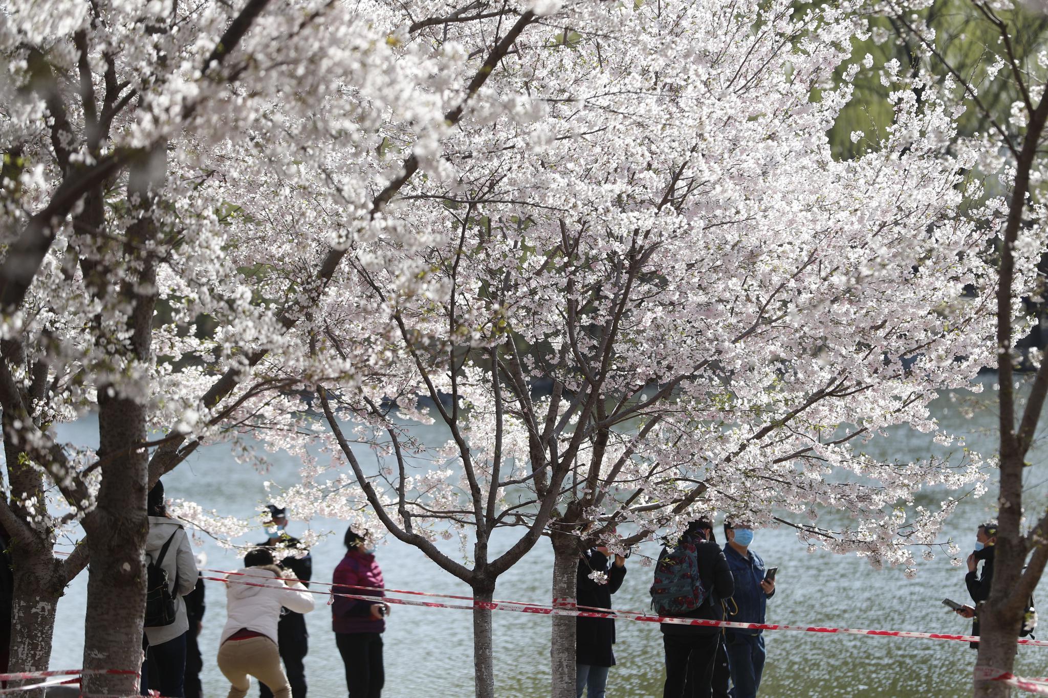 玉渊潭樱花园启动单向游览,推6处小众景点分散赏花图片