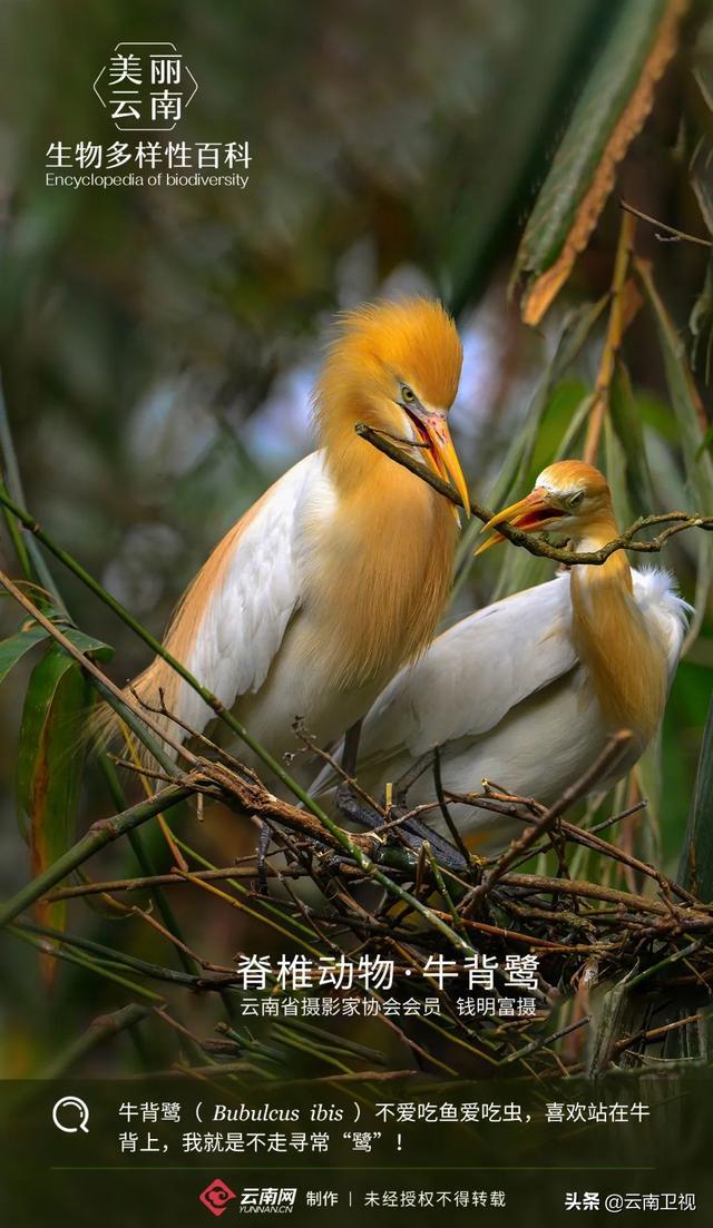 """【生物多样性百科】脊椎动物·牛背鹭:我是不走寻常""""鹭"""""""