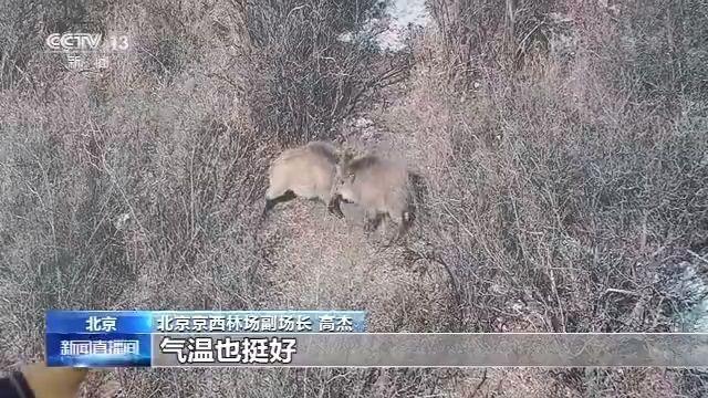 野猪、黑鹳、斑羚……野生动物频现身 京西林场封闭50年后将再度对公众开放