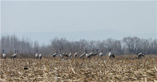 新疆:灰鹤起舞呼图壁