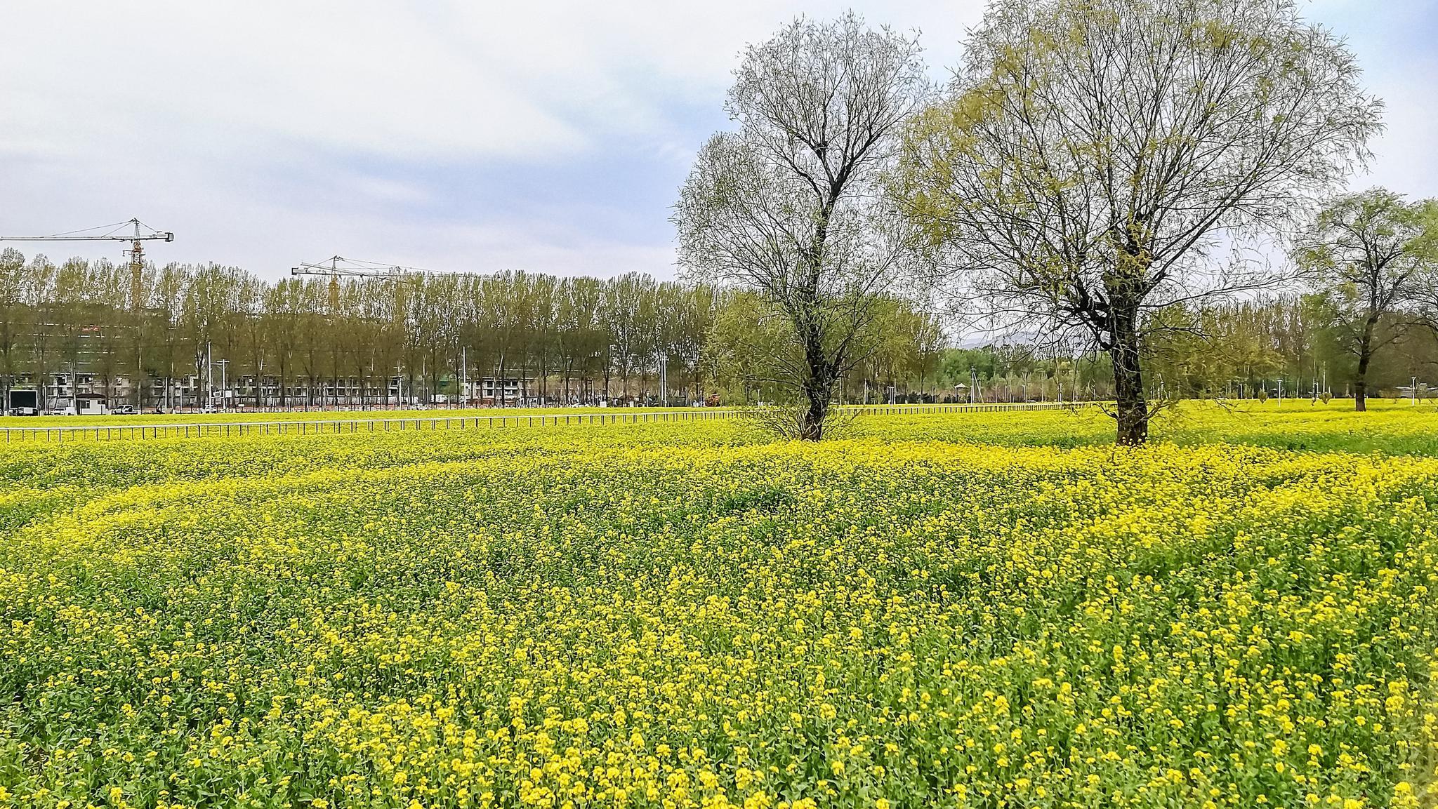 彩票代理村200亩油菜花彩票代理盛开花期可图片