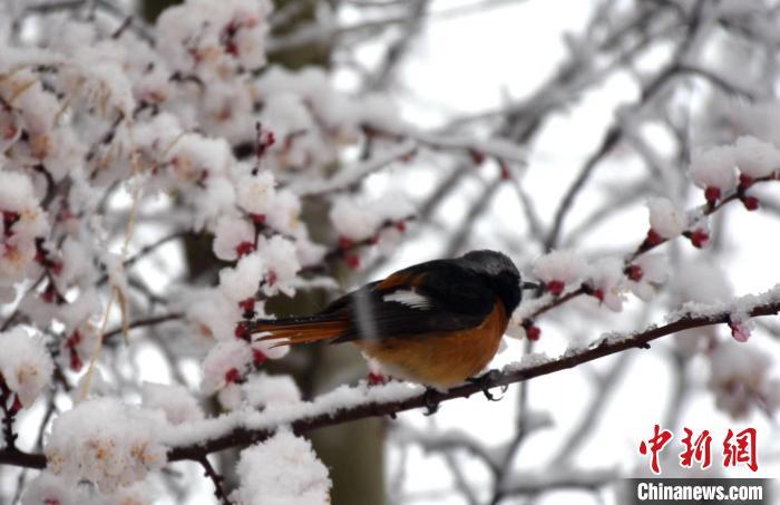 """山西迎大范围雨雪天气 现""""雪花与百花约会""""美景"""